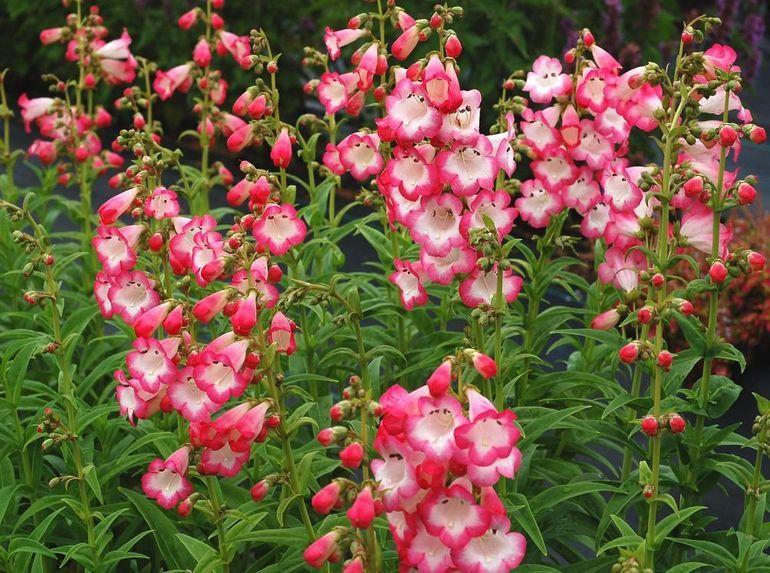 Цветок пенстемон
