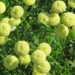 Цветок сантолина