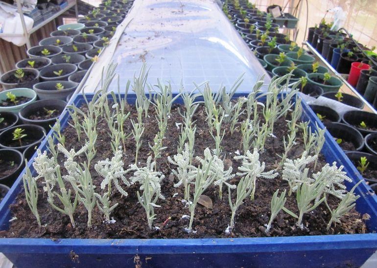 Выращивание сантолины