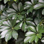 Цветок шефлера: уход и размножение