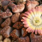Цветы литопсы (живые камни)
