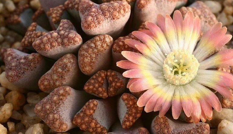 Цветение литопса (живого камня)