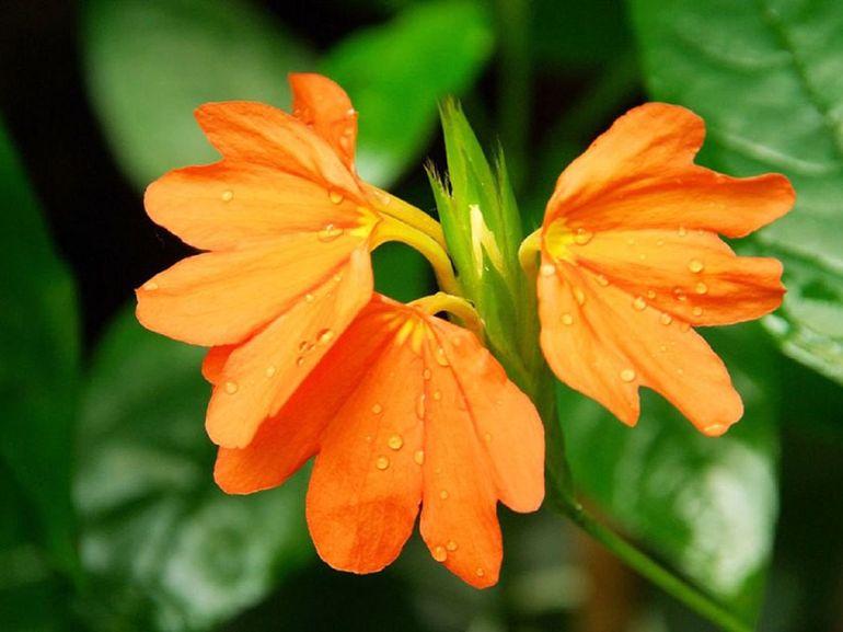 Комнатный цветок кроссандра