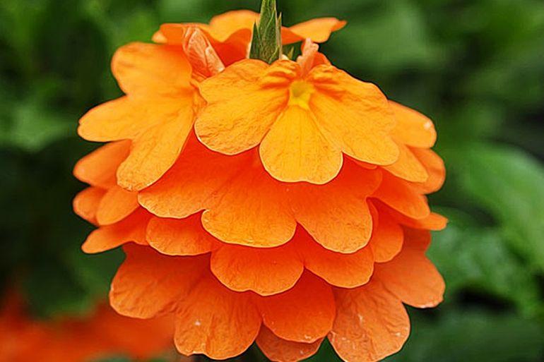 Цветение кроссандры