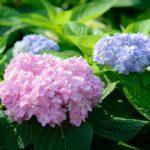 Как посадить гортензию летом