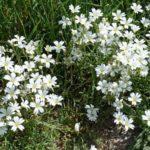 Как посадить и вырастить цветок ясколку