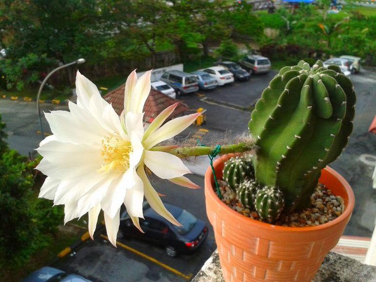 Эхинопсис цветет