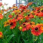 Как вырастить цветок гелениум