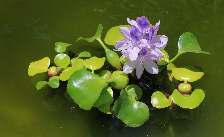 Водяной гиацинт (эйхорния)