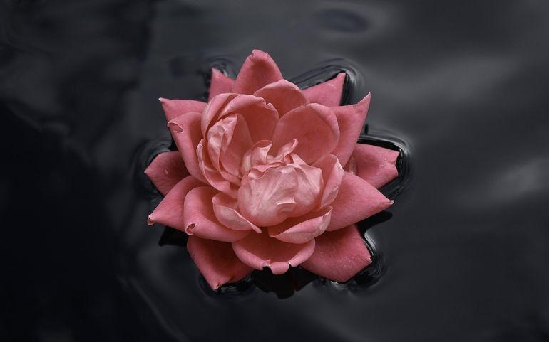 Водяная роза