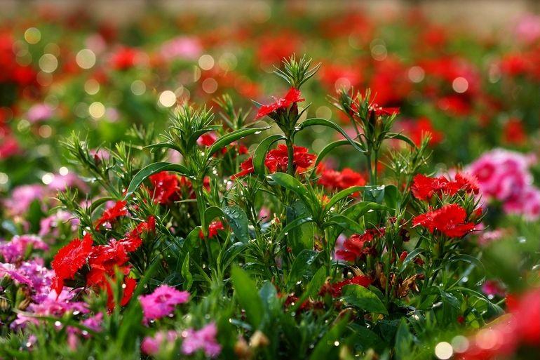 Многолетняя садовая гвоздика
