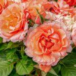 Обработка роз от болезней и вредителей