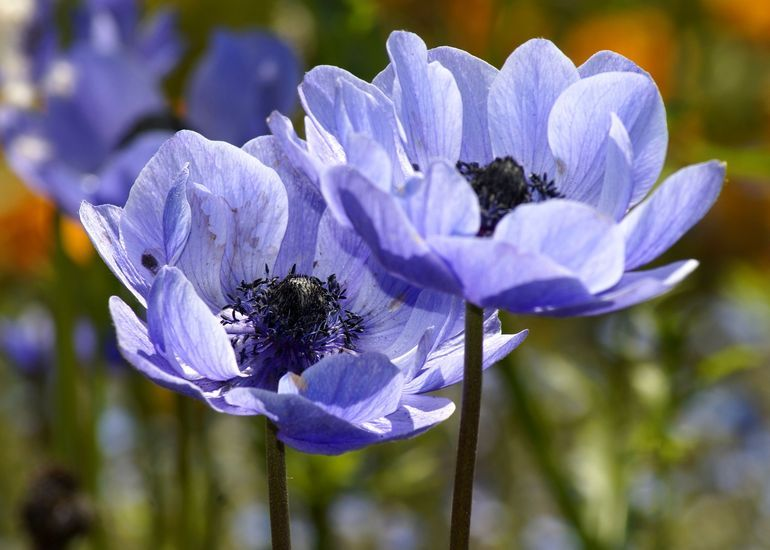 Голубые анемоны