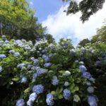 Посадка и уход за гортензиями в саду
