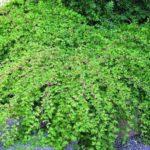 Посадка и уход за кустарником стефанандра