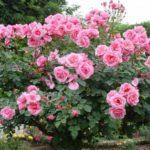 Посадка и уход за штамбовой розой