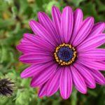 Цветок остеоспермум: посадка и уход