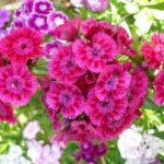 Турецкая садовая гвоздика: посадка и уход