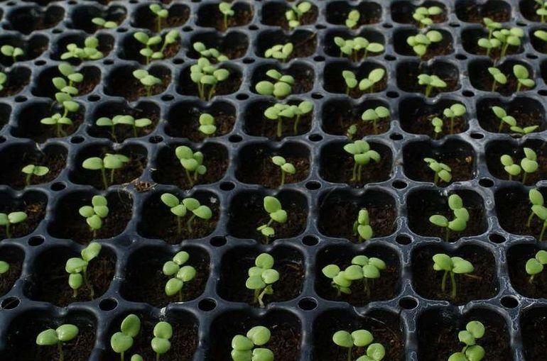 Семена турецкой садовой гвоздики