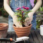 Как пересадить цветы в домашних условиях