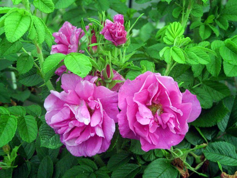 Прививка розы на шиповник