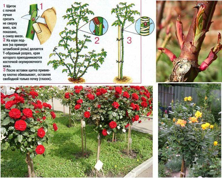 Прививка розы на шиповник: пошаговая инструкция
