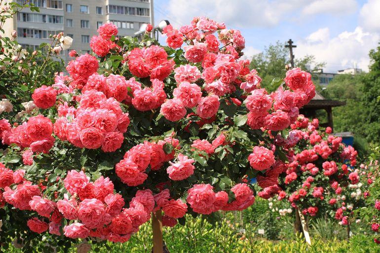 Плетистая роза на участке