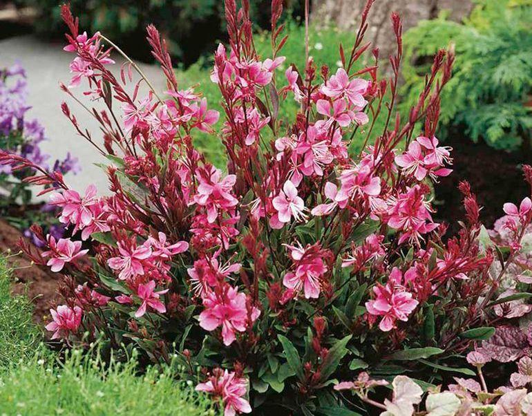 Цветок гаура