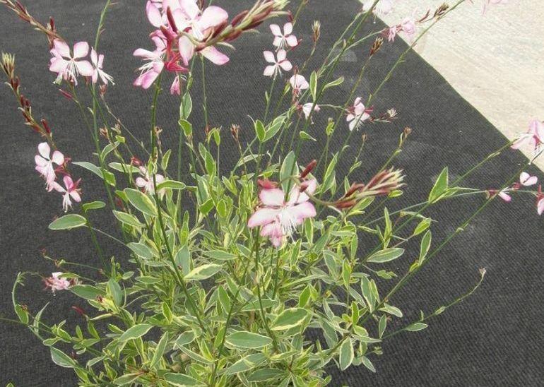 Цветок гаура в кадке