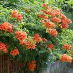 Кампсис — лиана с оранжевыми колокольчиками