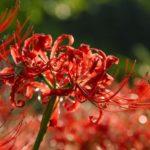 Ликорис: посадка цветка и уход за ним