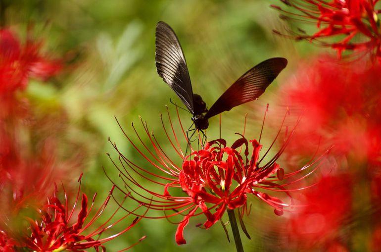Бабочка садится на ликорис