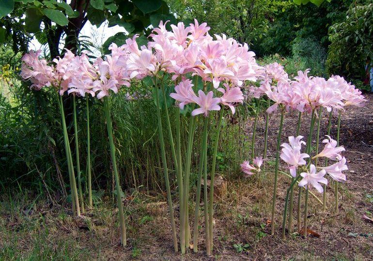 Цветение чешуйчатого ликориса
