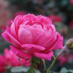 Нужно ли подрезать розы на зиму