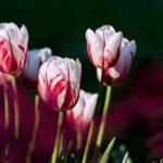 Нужно ли поливать тюльпаны после посадки осенью