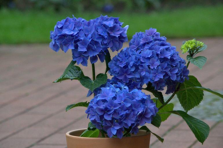 Синяя горшечная гортензия