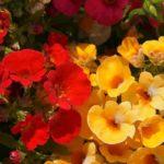 Правила выращивания цветка немезия