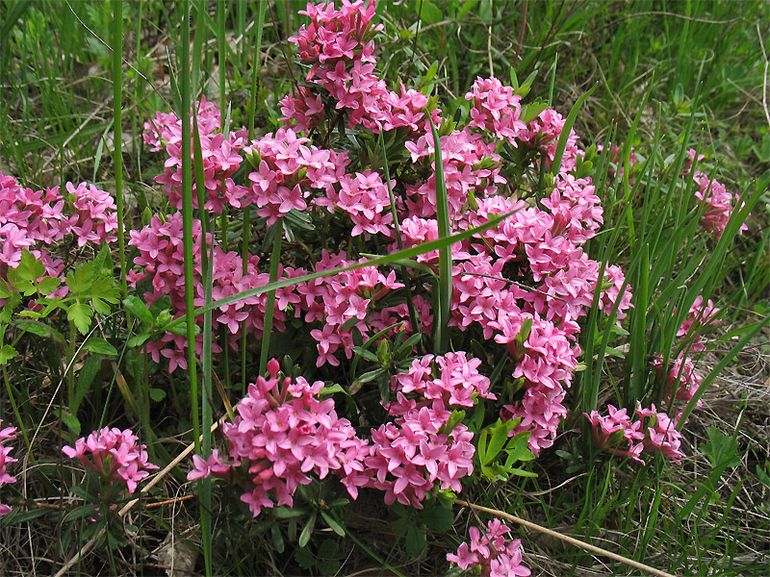 Растение дафна (волчеягодник)