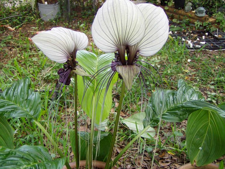 Такка цветок