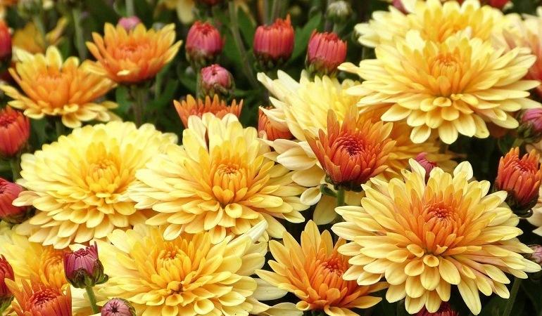 Двухцветные хризантемы