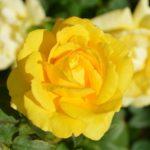 Чем лучше удобрять розы осенью