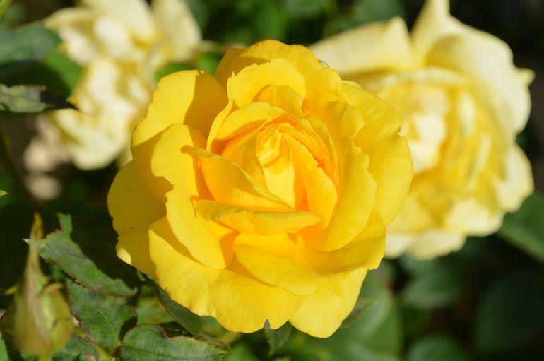 Подкормка роз осенью