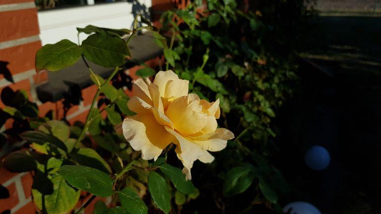 Обработка роз осенью от болезней