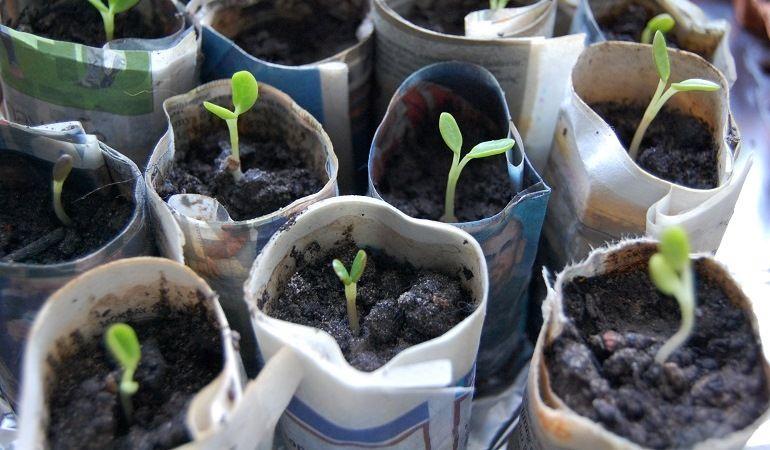 Посев люпинов