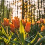 Как правильно посадить луковицы тюльпанов осенью