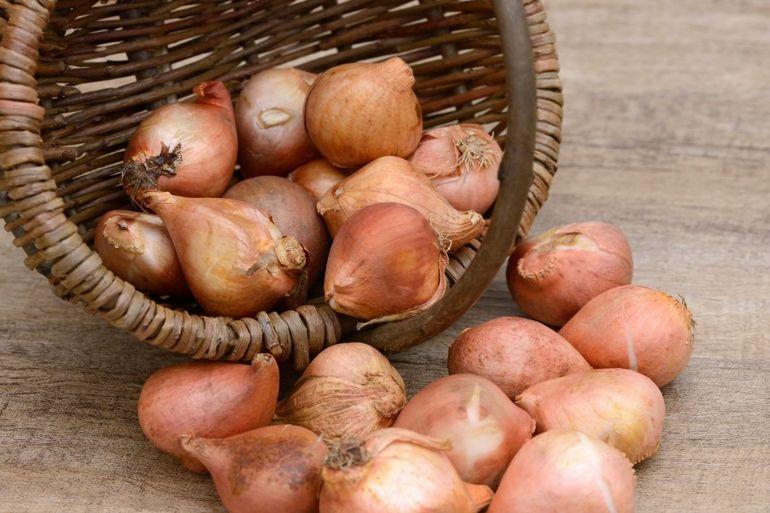 Луковицы тюльпанов в корзине