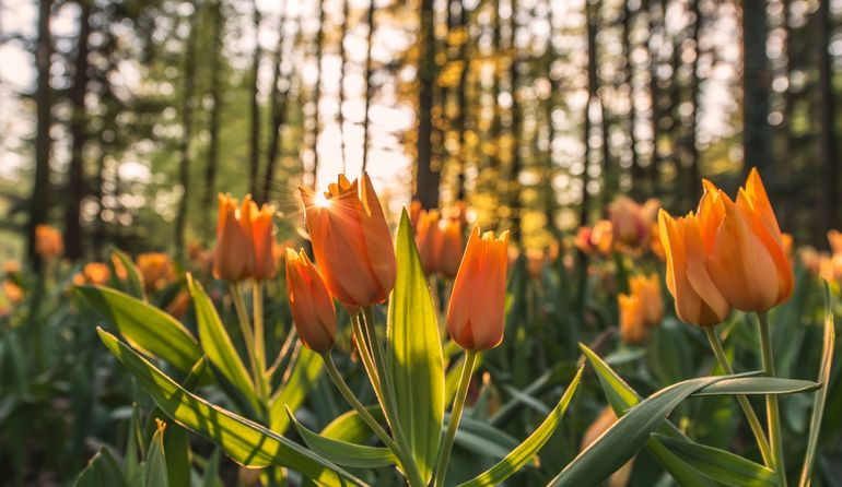 Тюльпаны осенью
