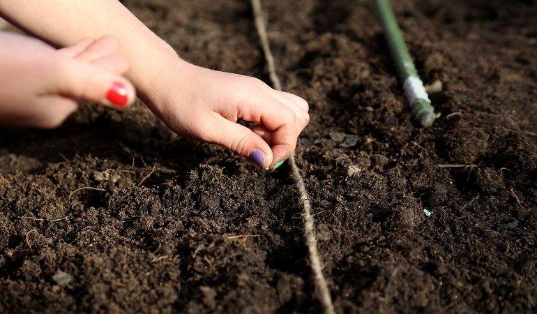 Как сеять маргаритки