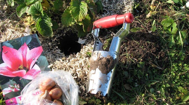 Место для посадки тюльпанов осенью