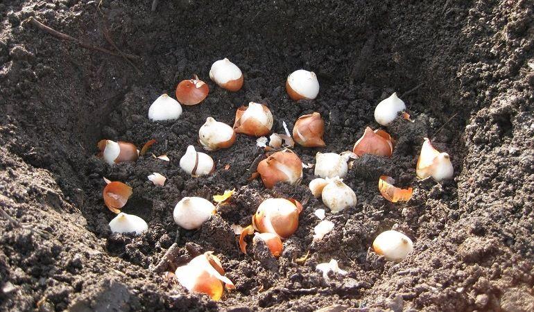 Алгоритм высаживания луковиц тюльпанов